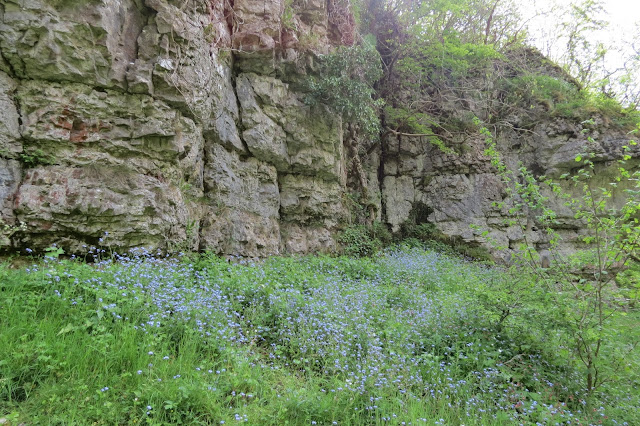 A swathe of forget-me-not flowers at the base of a limestone rock face.