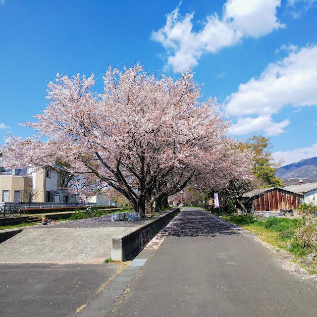 つくばりんりんロード 真壁駅跡 桜