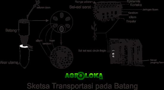 Transpotasi Pada Batang