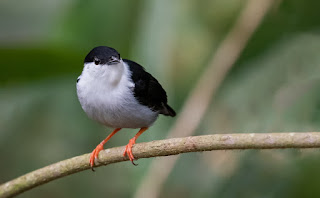 juan jose arango escobar fotos de aves colombianas