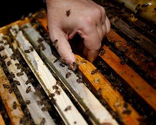 """Las abejas que salvaba llevaban su olor a la  colmena y esto le daba """"una gran libertad  para correr por el apiario, meter la cabeza  en las colmenas y agarrar a las abejas con  las manos."""" Las abejas no le picaban porque  sabían que estaba salvando su vida."""