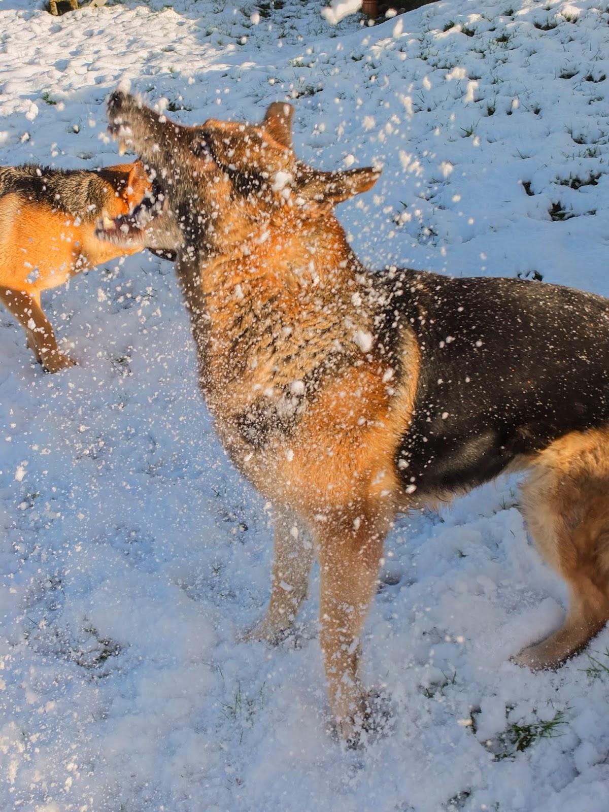 German Shepherd Steve chomping down snowballs in the sunlight.