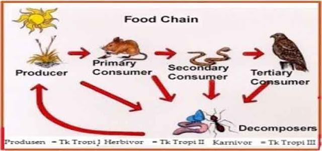 Contoh-Contoh Rantai Makanan dan Jaring Makanan Lengkap Dengan Keterangannya