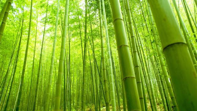 Kalsel Akan Kembangkan Budidaya Bambu