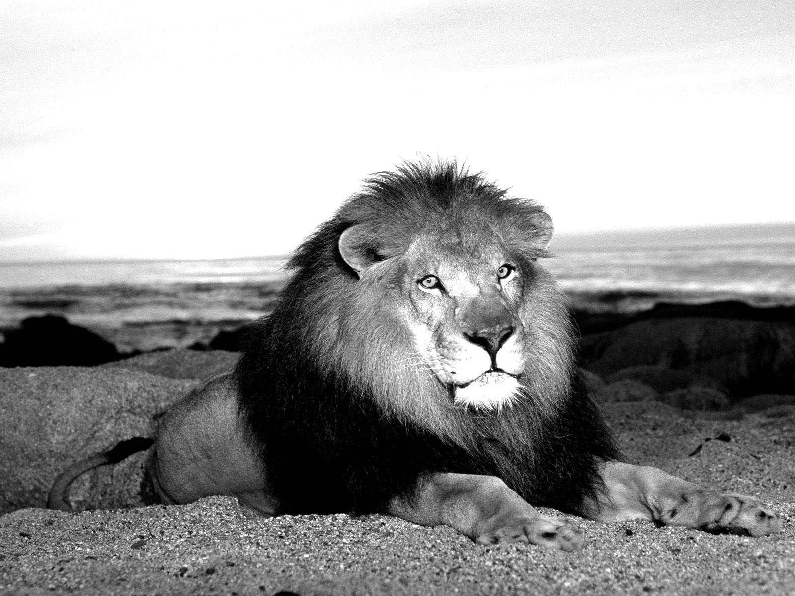 wild_animal_lion_black_and_white | Fierce Animals | Pinterest