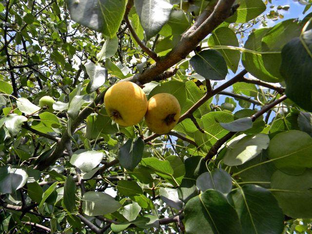 dzikie owoce, las, miedze