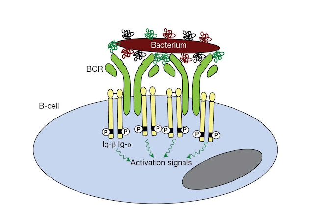 B‐cell receptor clustering drives activation