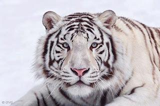 Tigre Blanco 002
