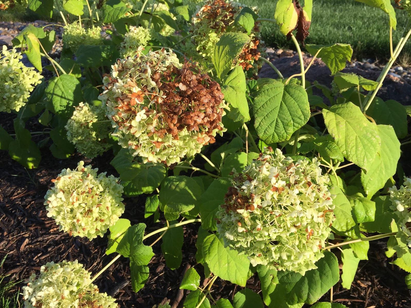 Burned Brown Sun Scorch On Annabelle Hydrangea [Backyard