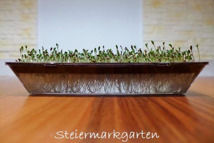 Alfalfa-Sprossen-Steiermarkgarten