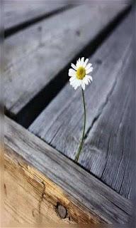Flor margarita sobre madera fondos wallpaper para teléfono móvil resolución 480x800