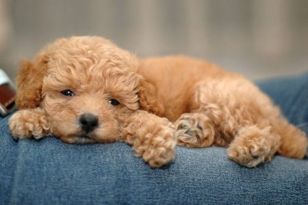 12 Reasons Why You Should Never Own Poodles |Cute Poodle Puppies