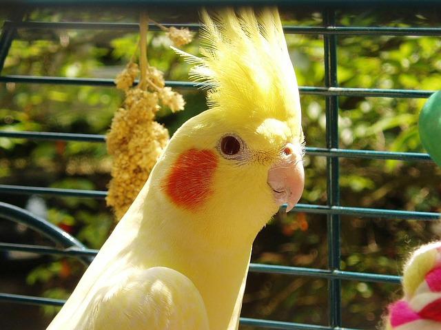 انواع طائر الكوكتيل بالصور