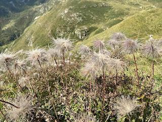 [Ranunculaceae] Pulsatilla alpina – Alpine Pasqueflower (Pulsatilla alpina)