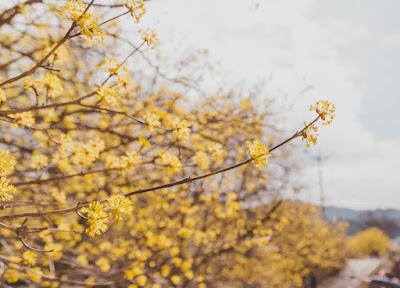 Bunga Sansuyu