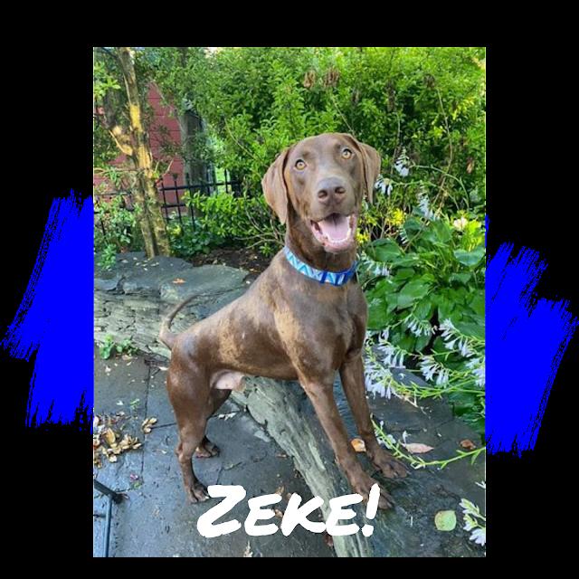 Chocolate Labrador Retriever Dog Adoption
