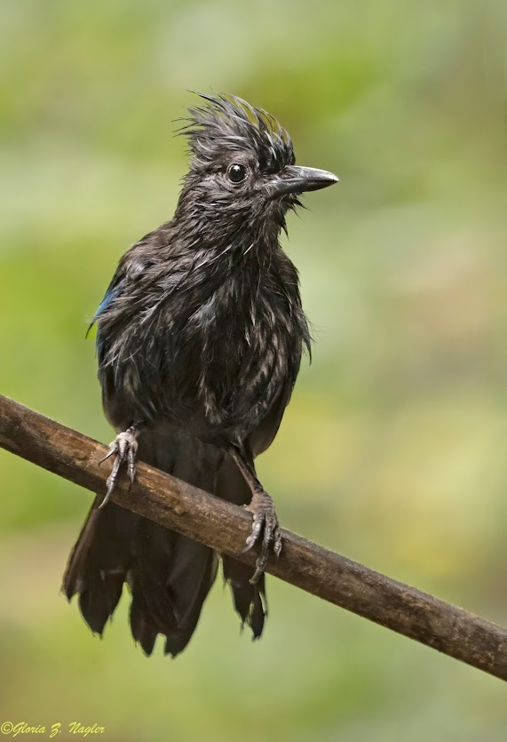 A Stellar's Jay sitting on a branch. He looks like he was soaked and towel dried. His feathers look completely black, like a crow. His round eye looks a little shell shocked. And the feathers on his head are so rumpled it looks like he has a mohawk.