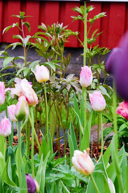 tulppani kukkamaa kesä kesäsade kukkapenkki kukka flower tulips