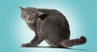 Cara Alami Mengobati Kutu Kucing Tanpa ke Dokter Hewan