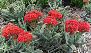 """""""Crassula perfoliata - známa ako  vrtuľová rastlina."""""""
