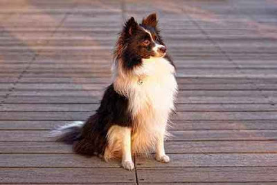 furry dog waiting on deck