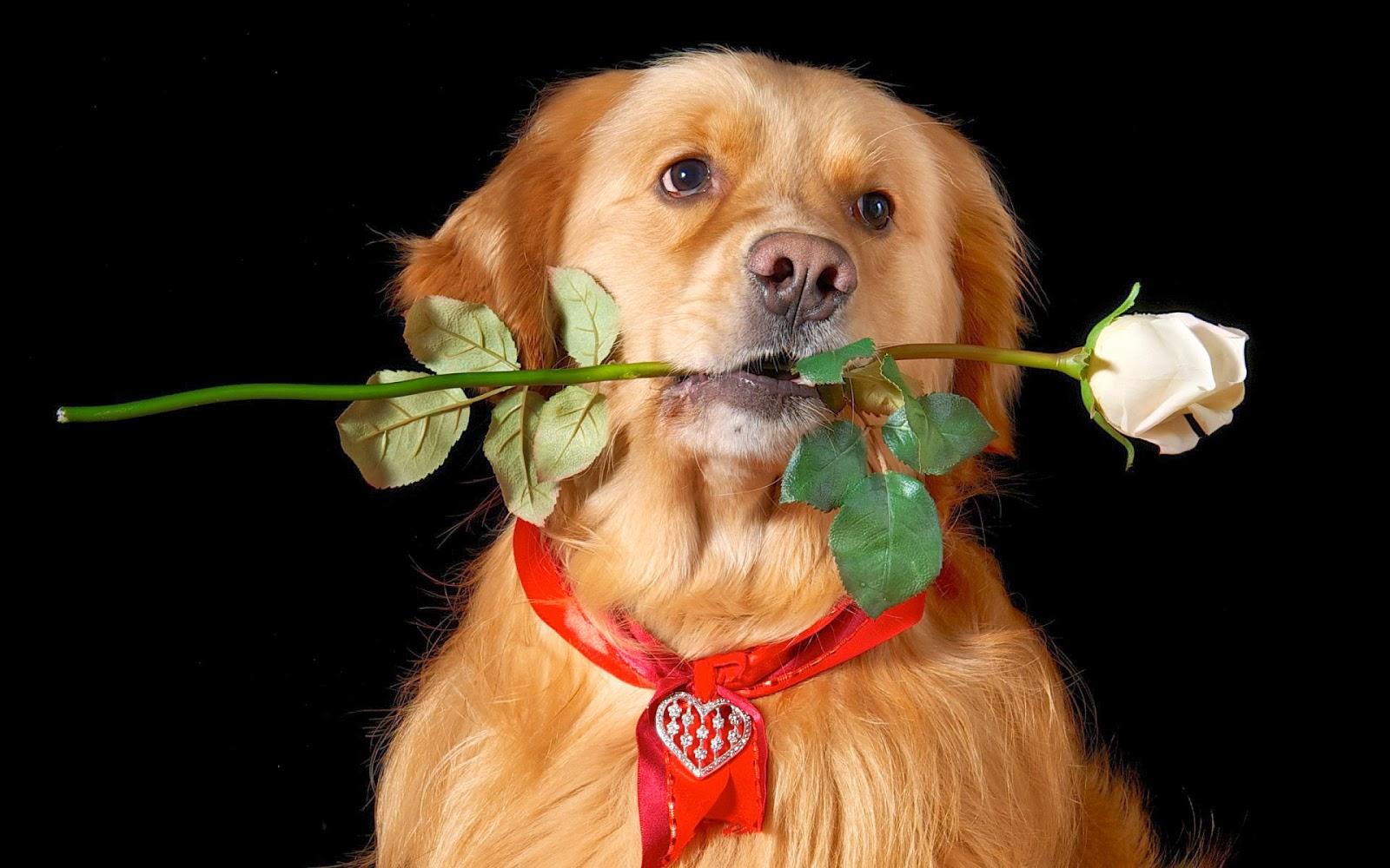 Hond met witte roos in zijn bek op een zwarte achtergrond