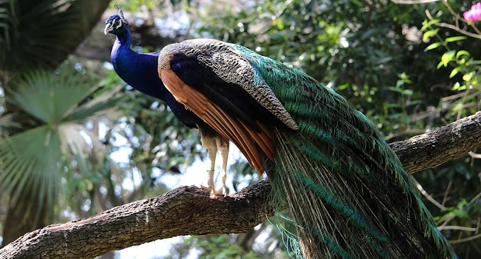 PEACOCK - Short Paragraph on Peacock ময়ূর সম্পর্কে অনুচ্ছেদ বাংলা ও ইংরেজি