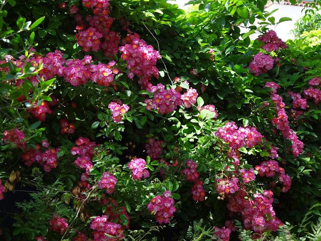 (07) Le jardin de Bésignoles - Privas - Page 2 DSC08227