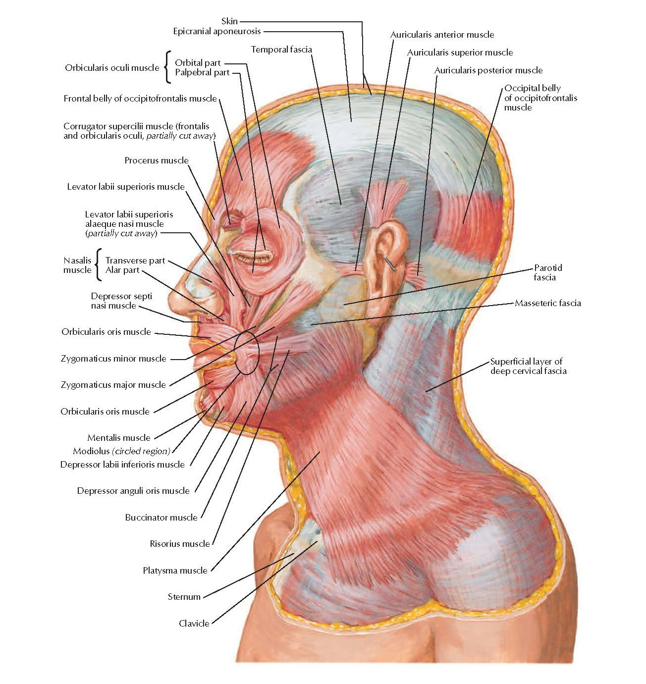 Muscles of Facial Expression: Lateral View Anatomy