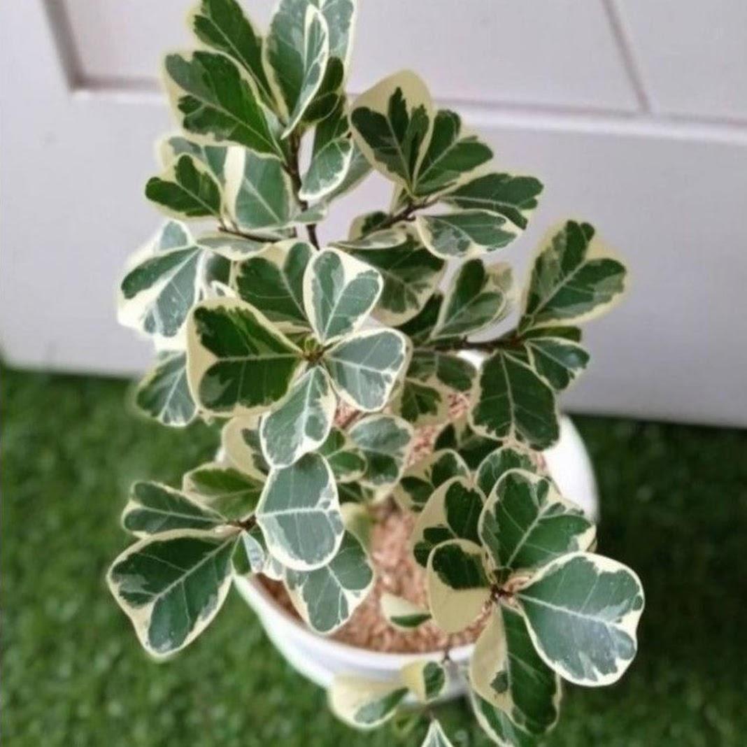 BISA COD Tanaman Hias Ficus Butterfly Beringin Kupu Kupu Variegata Ficus Triangularis Varigata Solok
