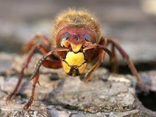 Frelon européen - Guichard - Vespa crabo