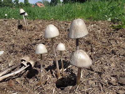 Grzyby na odchodach zwierzęcych, grzyby na końskich odchodach, grzyby na Mazurach, grzyby w Popielnie, kołpaczek blady Panaeolus semiovatus, gnojanka żółtawa Bolbitius vitellinus