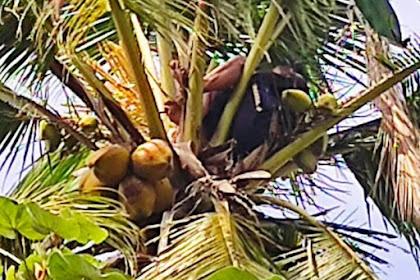 Seorang Pria Banyuwangi Tidur di Atas Pohon Kelapa Berjam-jam