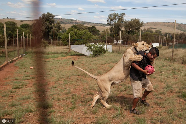 A South African playing with his pet lion