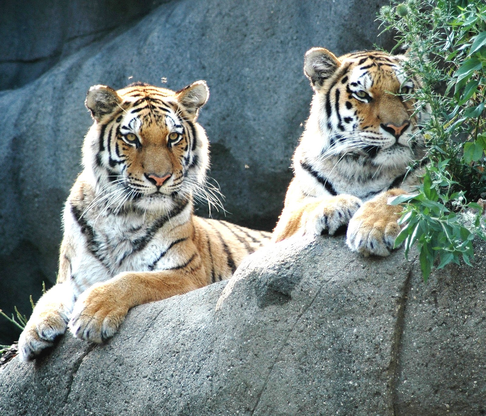 Wildlife and Nature: Wild Tigers Could Disappear by 2022 ...