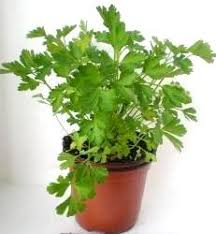 Hierbas que Puedes Cultivar en el Interior de tu Cocina