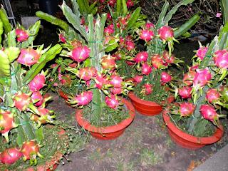 Image result for buah naga dalam pot