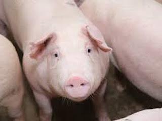 Cách khắc phục lợn bị ho, đi ngoài phân loãng đen, sốt