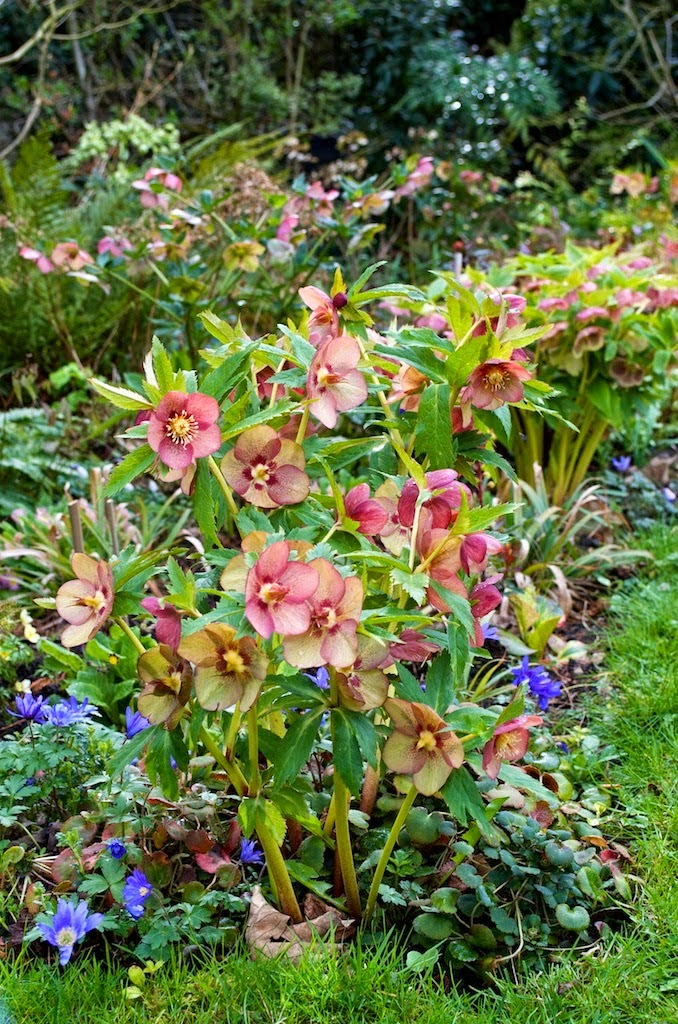 Hellebore - A Great Plant for Shade that Deer Don't Eat