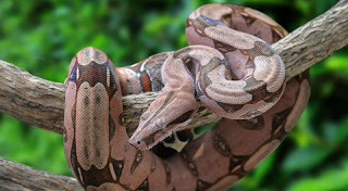 8. Boa Constrictor (Boa Constrictor)- 4.3 meters (14.11 ft.)