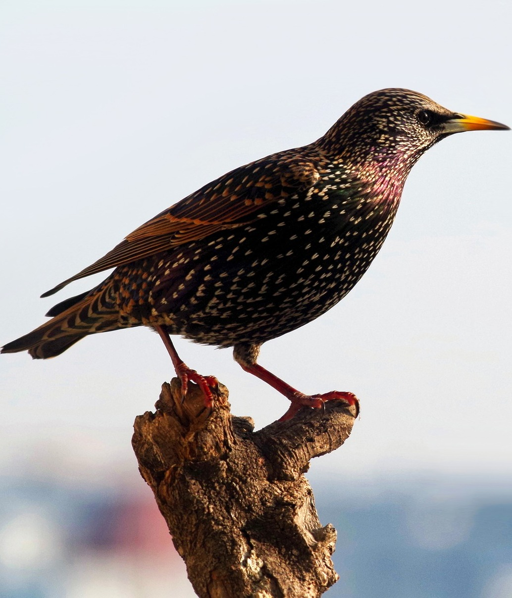 Beautiful starling bird.