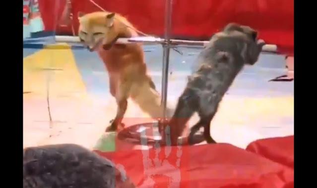 Измученных лисиц заставили выступать в цирке и привели в ярость жителей Челябинской области