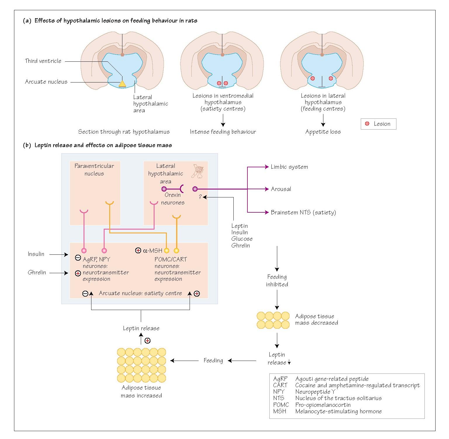 Energy Homoeostasis: II Central Control