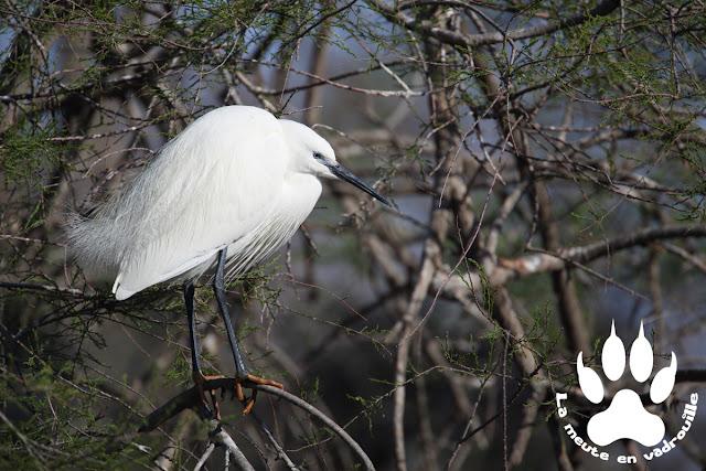 aigrette-garzette-parc-ornithologique-pont-de-gau
