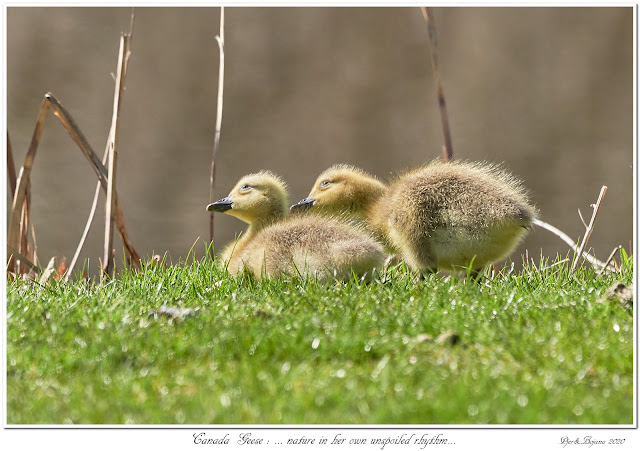 Canada Geese: ... nature in her unspoiled rhythm...