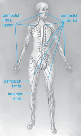 Peredaran Darah Getah Bening : peredaran, darah, getah, bening, Sistem, Peredaran, Getah, Bening, Manusia, Biologi, Indonesia