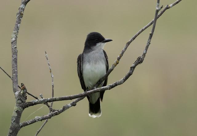 Eastern Kingbird - Fibre, Michigan, USA