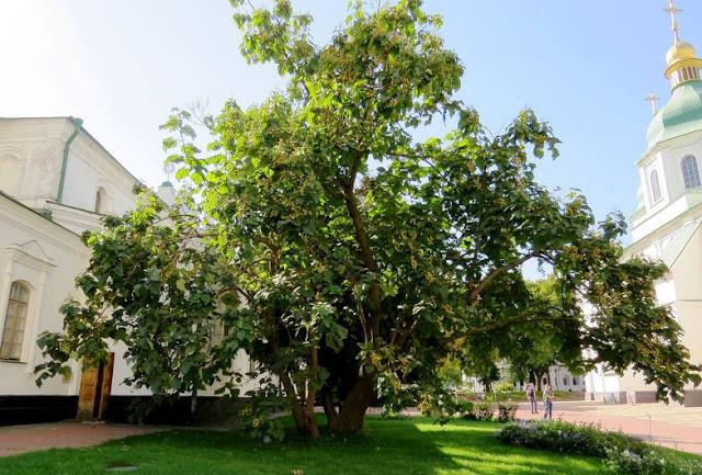 Pengaruh Pohon dan Akarnya di Dekat Bangunan