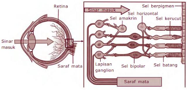 Sistem Indra Mata