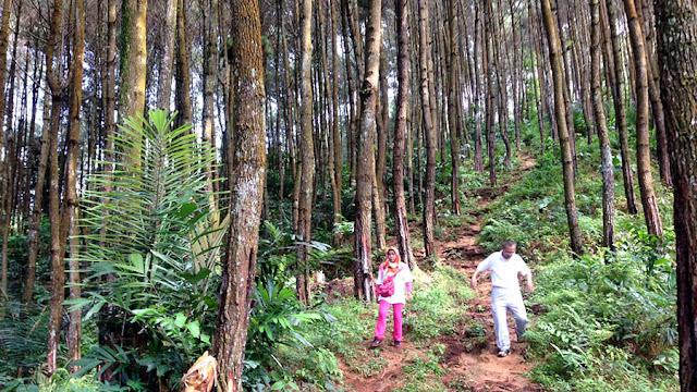 Foto Hutan pinus di JPN cocok untuk refreshing yang dekat dengan Tasikmalaya dan Ciamis.